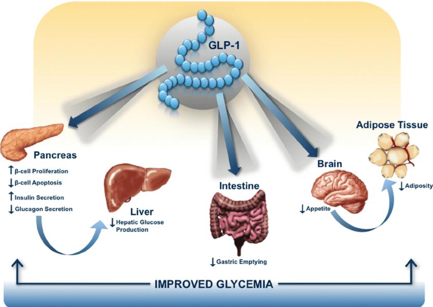 Glucagon-Like Peptide-1 (GLP-1) hormon apetit